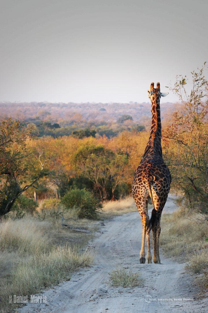 Giraffe, Africa, Daniel Morris, Dan Morris,Portland, Oregon, Africa, Bucket List
