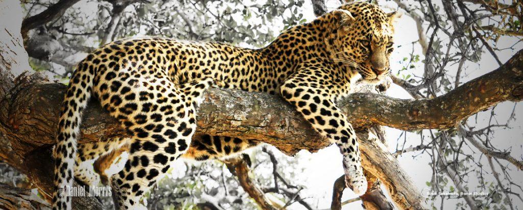 Leopard, Giraffe, Africa, Daniel Morris, Dan Morris,Portland, Oregon, Africa, Bucket List
